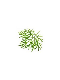 plante Aneth